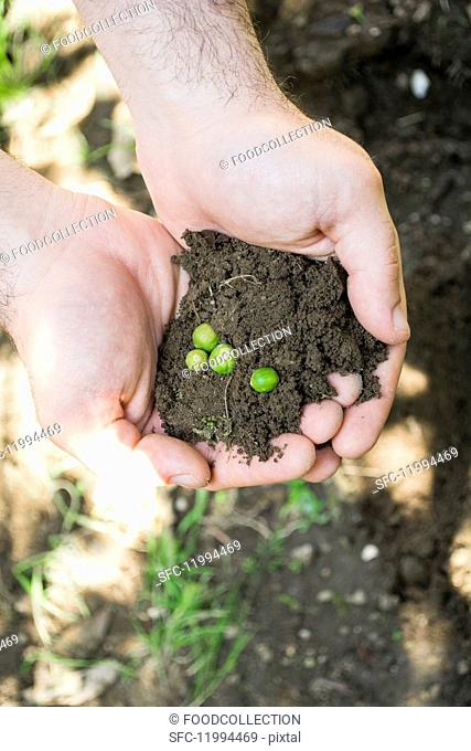 Hands holding soil with seeds