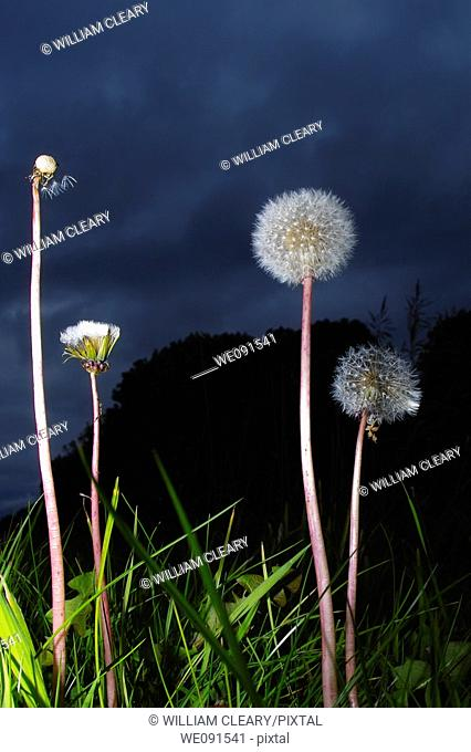 Towering Common Dandelion (Taraxacum officinale) parachutes ready to shed their seeds. Flash and low angle used to give dramatic effect