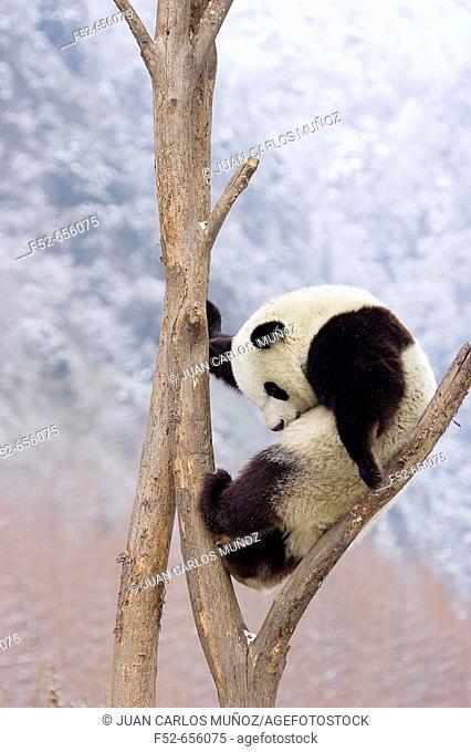 Giant Panda (Ailuropoda melanoleuca). China