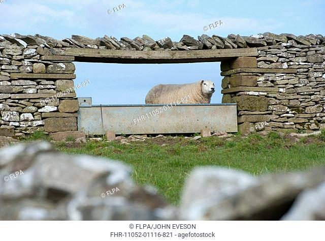 Domestic Sheep, adult, standing beside water trough in drystone wall, Shap, Cumbria, England, april