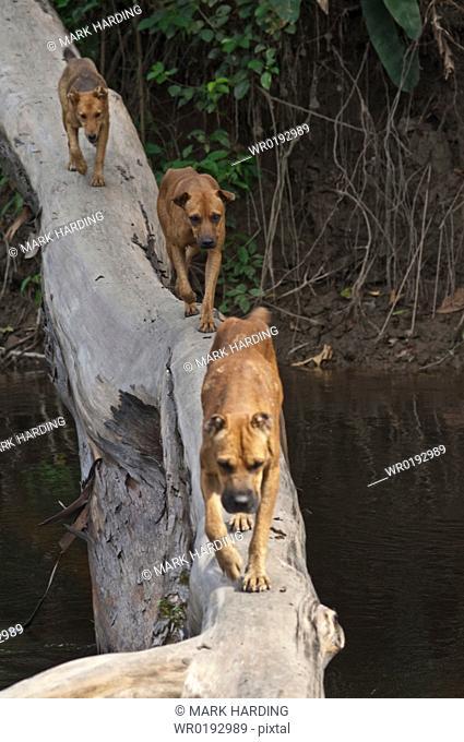 Dogs crossing river, Ecuador