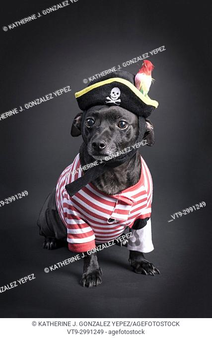 Black dog dessed up as a pirate