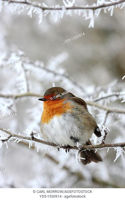 Robin Erithacus rubecula in winter