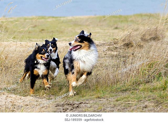 Australian Shepherd. Three adult dogs running on a dune. Germany