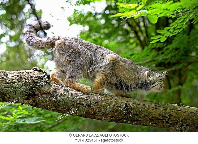 MANUL OR PALLAS'S CAT otocolobus manul, ADULT ON BRANCH