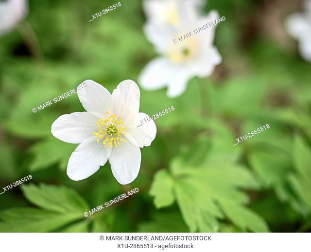 Wood Anemone Flower in Nidd Gorge Woods near Knaresborough North Yorkshire England