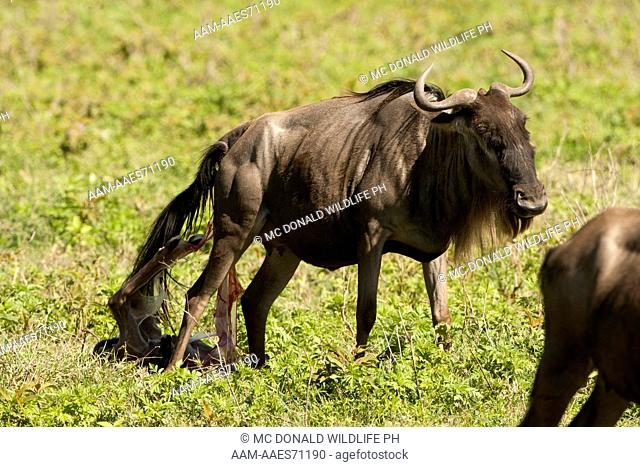 White Bearded Wildebeest (Connochaetes taurinus) giving birth to calf in the Ngorongoro Crater, Ngorongoro Conservation Area, Tanzania