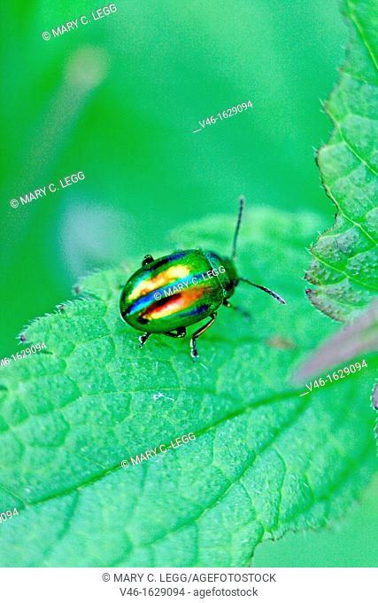 Chrysolina fastuosa, a tiny rainbow-colored leaf beetle  A pin-head sized beetle searches for dinner on a white dead nettle  Very colorful metallic beetle...