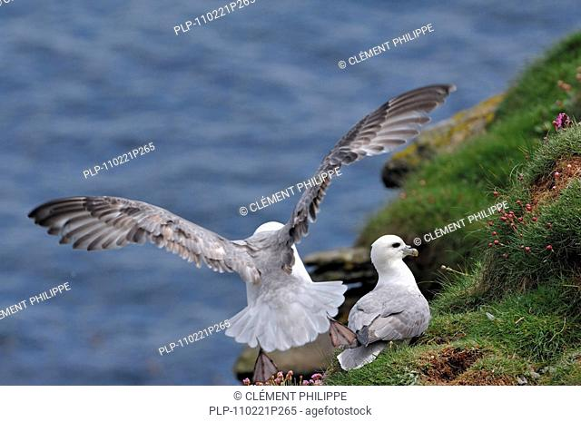 Northern Fulmar / Arctic Fulmar Fulmarus glacialis landing on nest in cliff face in the Fowlsheugh nature reserve, Scotland, UK