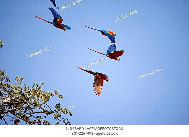 Scarlet Macaw, ara macao, Group in Flight, Los Lianos in Venezuela