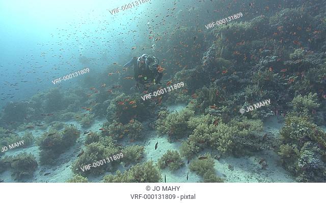 diver swims through thousands of anthius Pseudanthius squampinnis, Red sea, Egypt