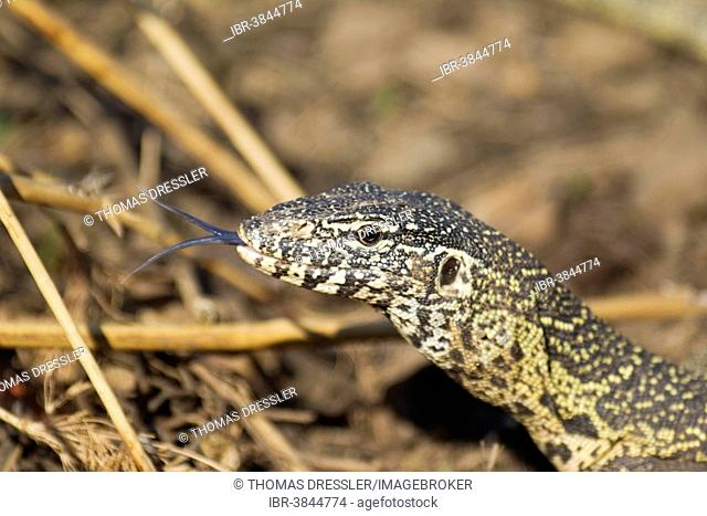 Nile Monitor (Varanus niloticus), showing its forked tongue, Kruger National Park, South Africa
