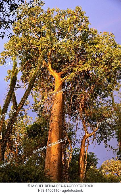 Afrique, Madagascar région de Toliara Tulear Ifaty, forêt de Baobab