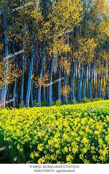 Rapeseed crop (Brassica napus) and poplar (Populus sp. ) grove. Murieta village. Estella Comarca, Navarre, Spain, Europe