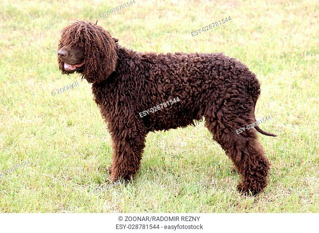 Typical Irish Water Spaniel on a green grass lawn