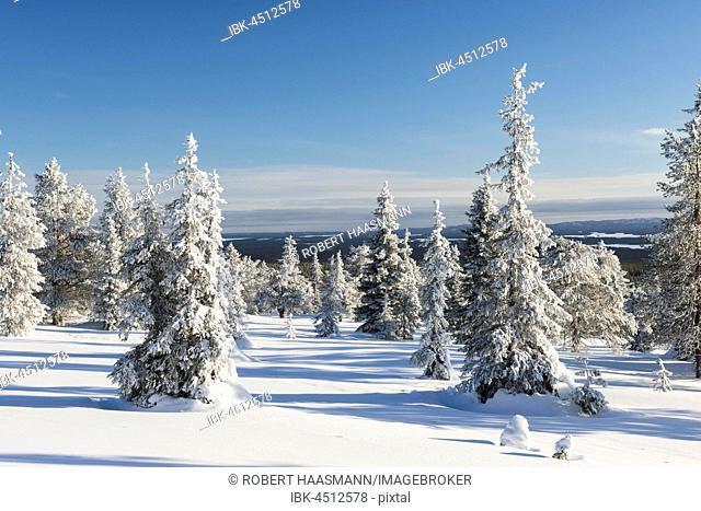 Snow covered trees, Riisitunturi National Park, Posio, Lapland, Finland