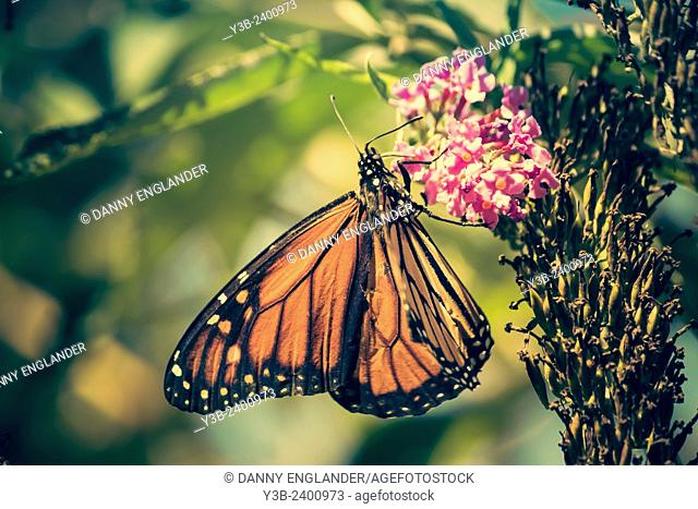 Monarch butterfly on a pink flower vintage-look