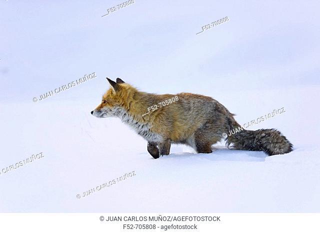 Italia. Alpes. Valle de Aosta. National Park of Gran Paradiso. Fox