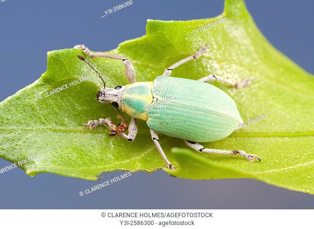 A Blue-green Citrus Root Weevil (Pachnaeus litus) perches on a leaf in Everglades National Park