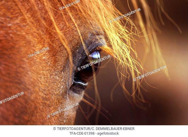 New Forest Pony eye