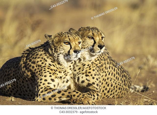 Cheetah (Acinonyx jubatus). Two brothers. Resting. Photographed in captivity on a farm. Namibia