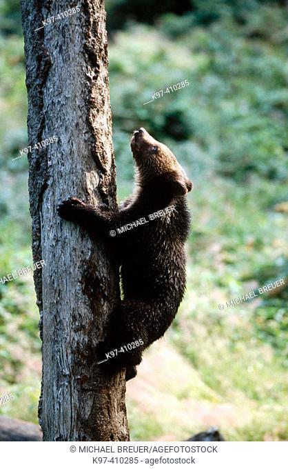 European brown bear (Ursus arctos), Cub