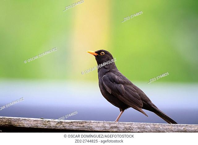 Eurasian Blackbird (Turdus merula) male perched on a rooftop. Reit im Winkl. Upper Bavaria. Germany