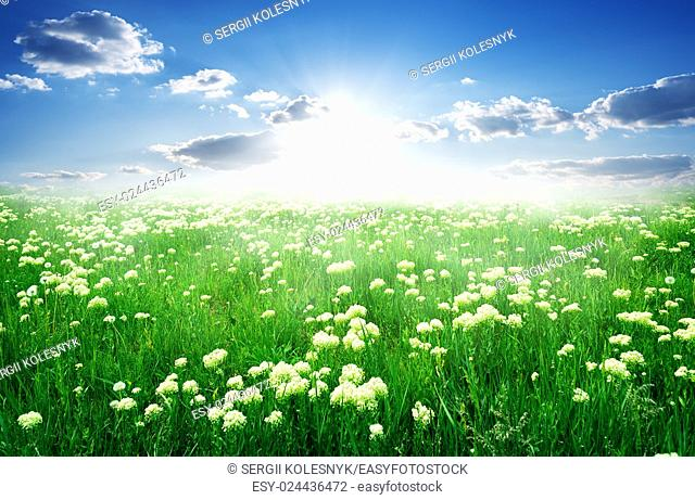 Field of white flowers and green grass in spring