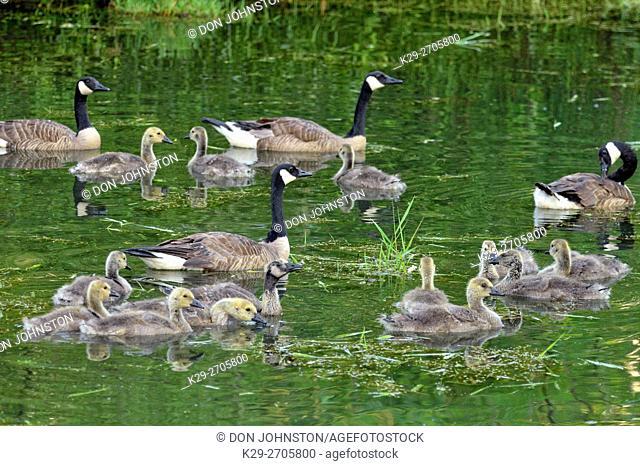 Canada goose (Branta Canadensis) Adults and goslings, Minnesota Wildlife Connection, Sandstone, Minnesota, USA