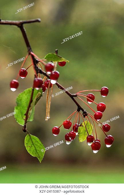 Berry branch after rain
