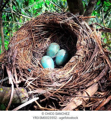 Green eggs from a blackbird in a nest in Prado del Rey, Sierra de Grazalema, Andalusia, Spain