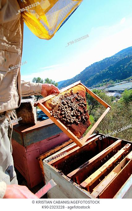 Beekeeper taking care on his beehive and holding a grid with bees, Dolceacqua, Italy, Europe