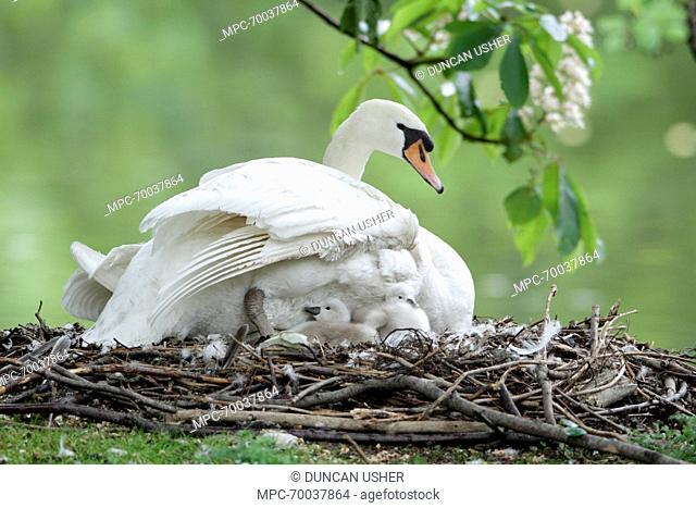 Mute Swan (Cygnus olor) with two cygnets on nest, Lower Saxony, Germany