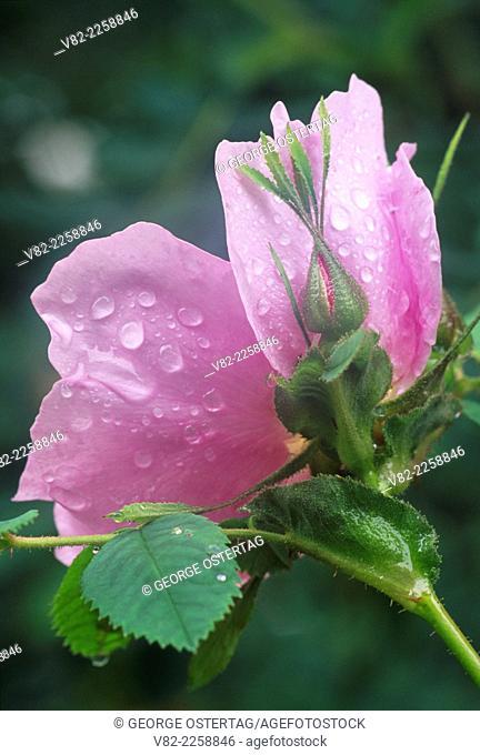 Wild rose, Belfair-Theler Wetland Park, Belfair, Washington