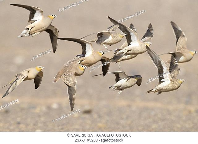 Crowned Sandrgouse (Pterocles coronatus), a flock in flight with Spotted Sandgrouse mixed in