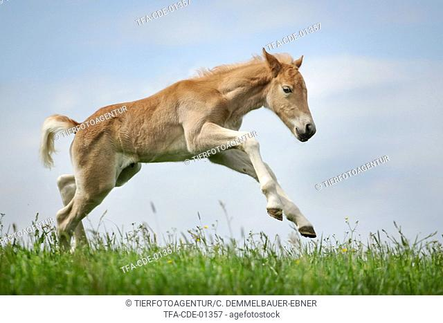 Haflinger horse foal