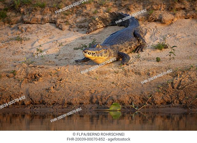 Paraguayan Caiman Caiman yacare adult, resting on riverbank in evening sunlight, Paraguay River, Pantanal, Mato Grosso, Brazil