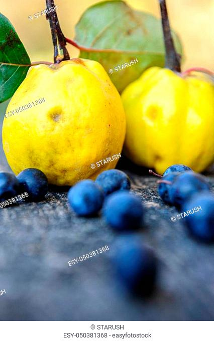 Yellow rape quince fuits and blackthorn berries on old cracked wood background. Selective focus