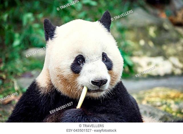 Giant Panda eats bamboo in the park