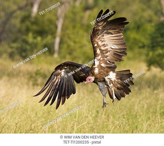 Hooded Vulture landing, Greater Kruger National Park, South Africa