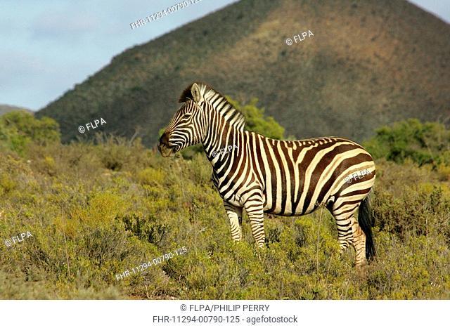 Common Zebra Equus burchellii adult, standing in fynbos habitat, Karoo N P , South Africa