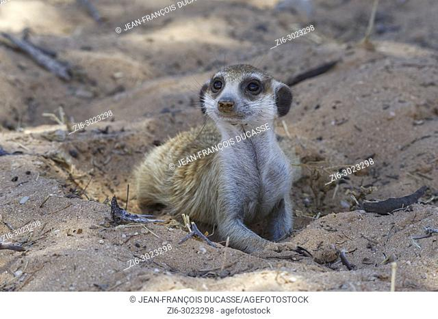 Meerkat (Suricata suricatta), male lying in the sand, in the shade, curious, Kgalagadi Transfrontier Park, Northern Cape, South Africa, Africa