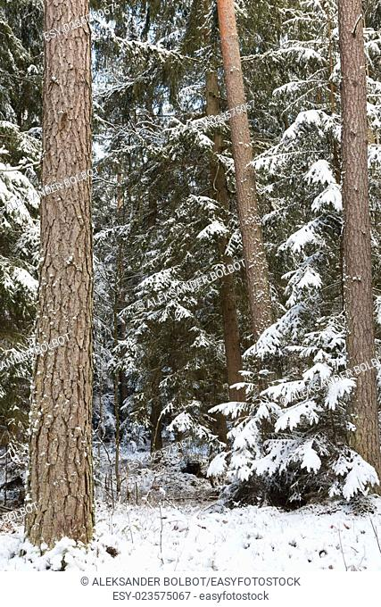 Winter landscape of natural forest with pine trees trunks and spruces, Bialowieza Forest, Poland