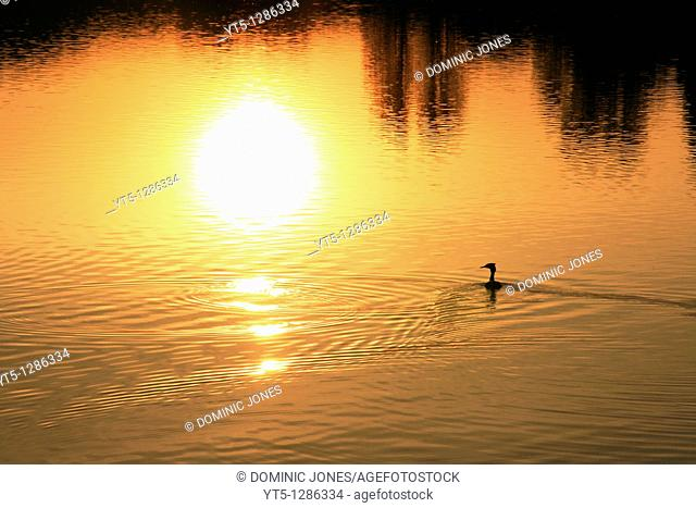 A sunset reflection and silhouetted duck, Trimpley Reservoir, Trimpley, Worcestershire, England