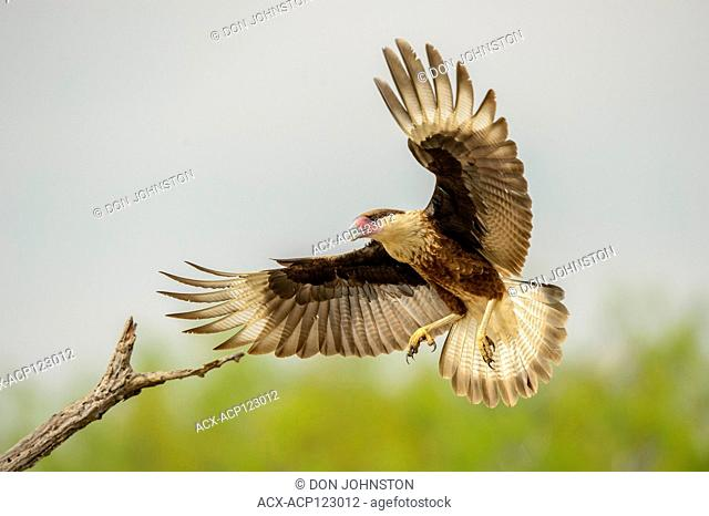 Crested Caracara (Caracara plancus) Landing on perch, Santa Clara Ranch, Starr County, Texas, USA