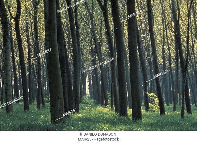 poplar-wood glimpse, cologno al serio, italy