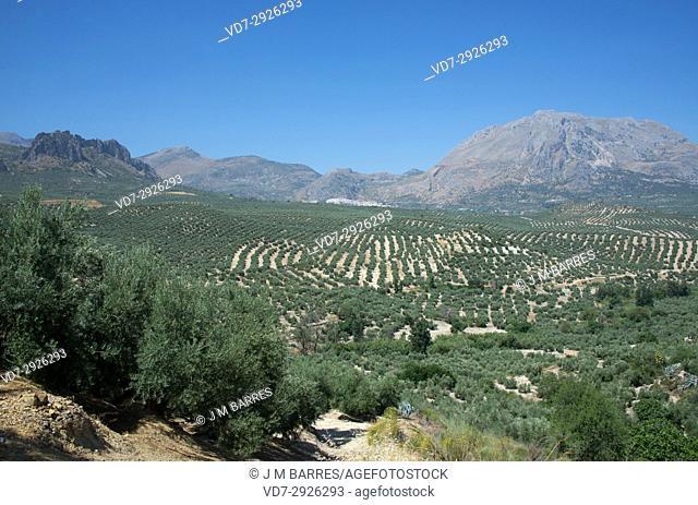 Olive trees in Sierra de Magina Natural Park. Jaen province, Andalucia, Spain