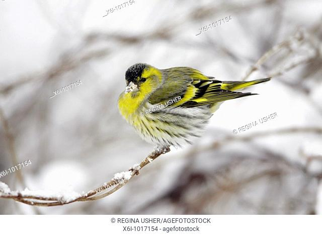 Siskin, Carduelis spinus, male perched on snow coverd branch in garden, winter, Germany