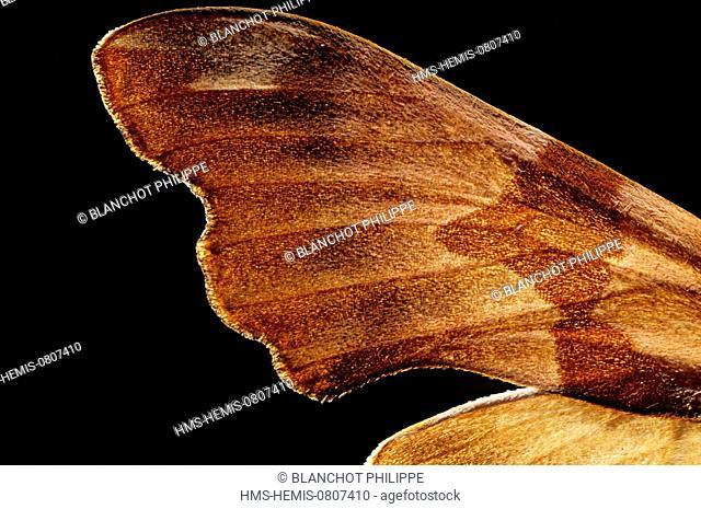 France, Paris, Museum National d'Histoire Naturelle, Lepidoptera, Sphingidae, Lime Hawk moth (Mimas tiliae), wing detail