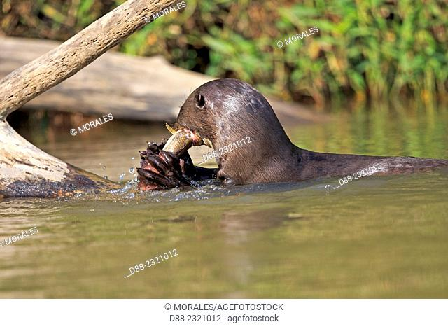 South America,Brazil,Mato Grosso,Pantanal area,Giant Otter (Pteronura brasiliensis),eating a fish